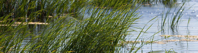 Gras in het meer.